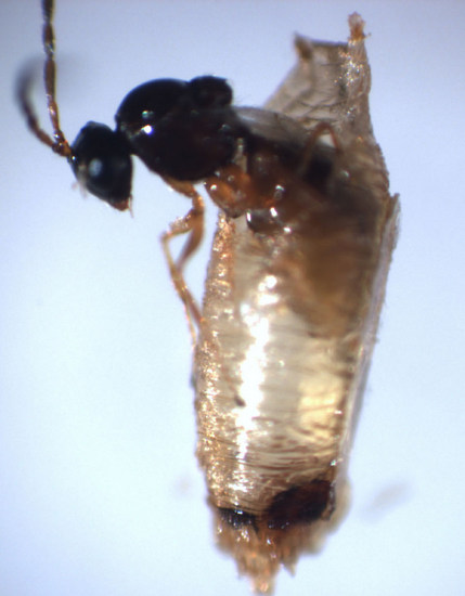 Shubha Govind Wasp Research