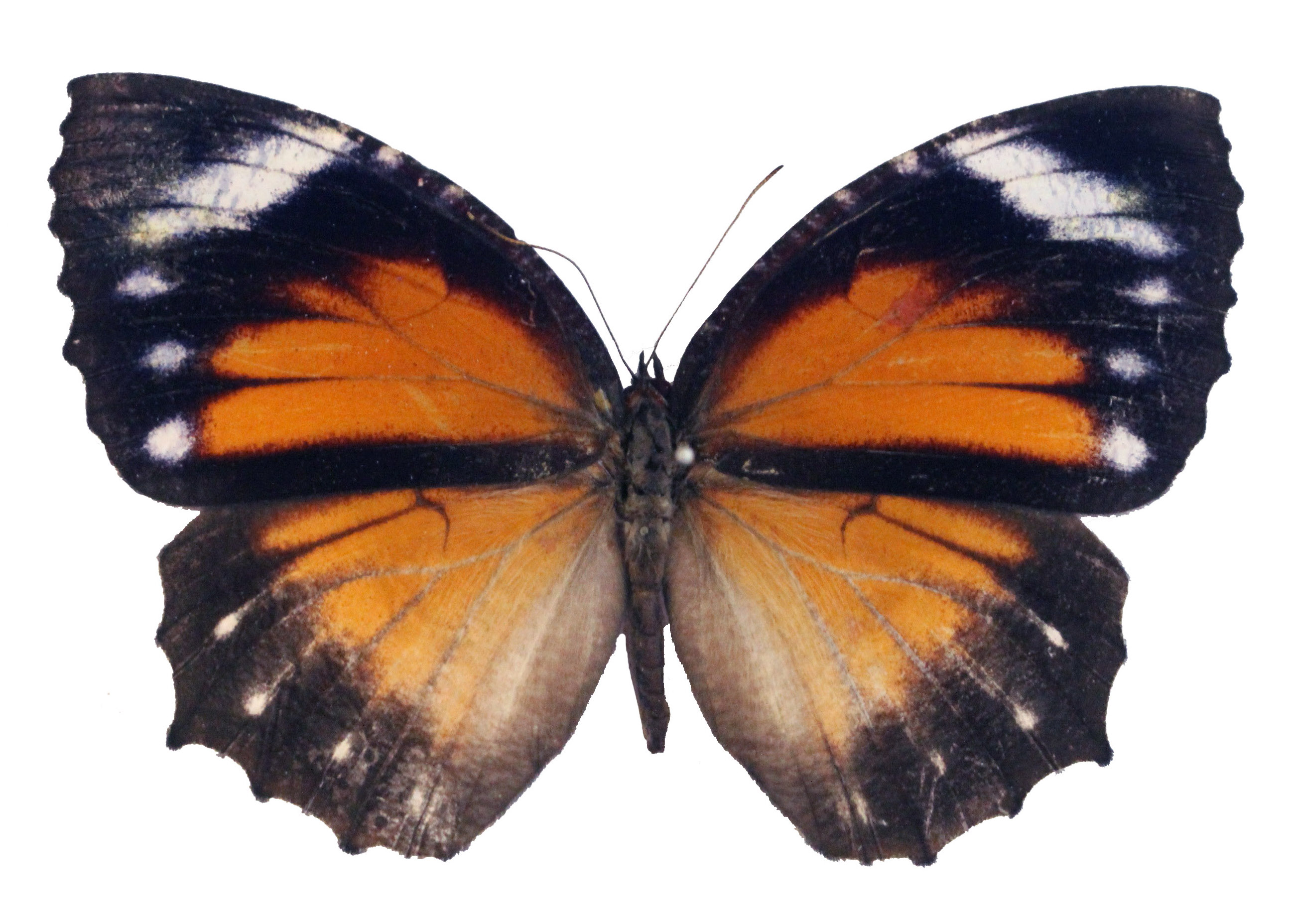 A female Elymnias hypermnestra tinctoria, one of the butterflies studied for its pigment